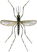 Skovmyg