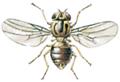 Græsflue