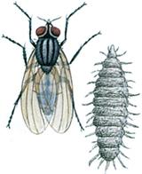 Lille stueflue