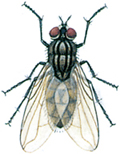 Stueflue