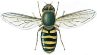 Svæveflue, Syrphus ribesii