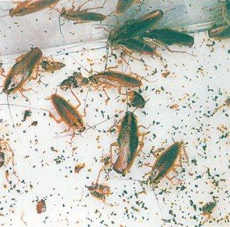 Ekskrementer fra fluer