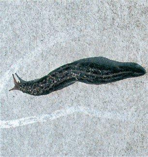 Slimspor efter stor kældersnegl på væg