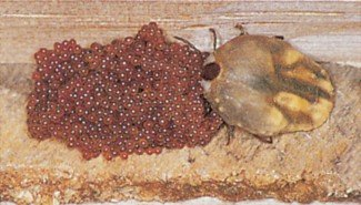 Æg af husflåt