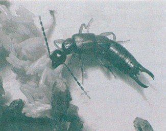 Lille ørentvist, Labia minor, æder flueæg