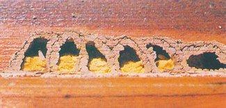 Murerbi-celler med pollen og larver