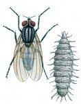 Den lille stueflue, Fanniacanicularis