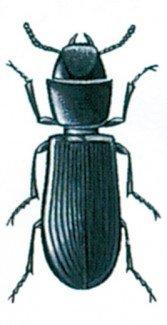 Korngnaveren, Tenebroides mauretanicus