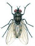 Stuefluen, Musca domestica