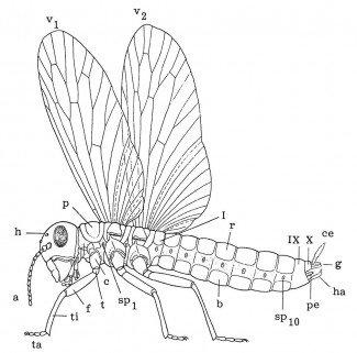 Vingede insekters opbygning