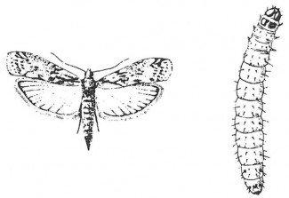 Voksen melmøl og larve