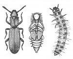 Voksen, puppe, larve fra savtakket kornbille