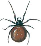 Fedtedderkop