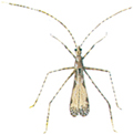 Myggetæge
