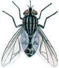 Stikflue