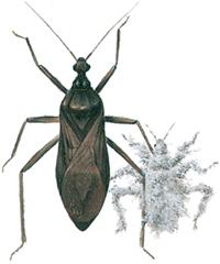 Støvtæge og larve