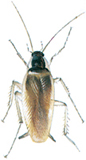 Brunstribet kakerlak