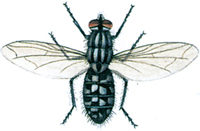 Kødflue