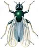 Osteflue