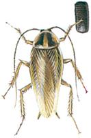 Tysk kakerlak