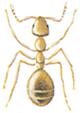 Gul myre