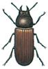 Hornet melbille