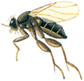 Pukkelflue