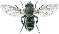 Svæveflue, Eristalis tenax