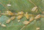 Ferskenbladlus, Myzus perticae
