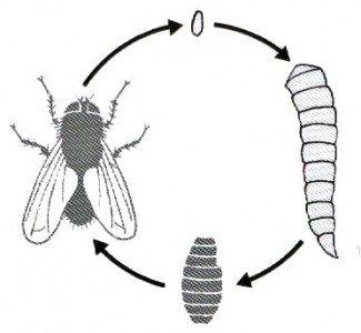Fluens cyklys fra æg til voksen