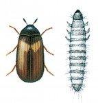 Amerikansk klanner og larve