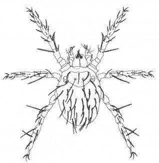 Augustmidens larve i mikroskop