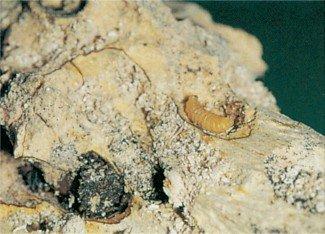 Gange efter gravehveps