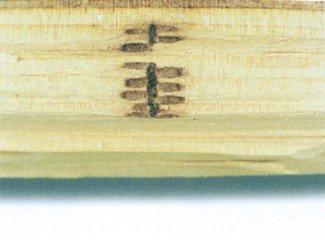 Gange gnavet af ambrosiabille i træ
