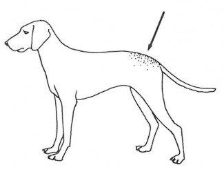 Hundepelsmiderne holder til på lænden