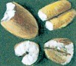 Hvedekerner gnavet af melbiller