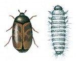 Khabrabille og larve