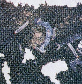 Klædemøl-larver gnaver uregelmæssige huller