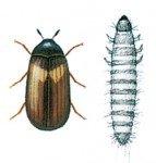 Klanner og larve