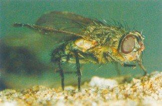 Klyngefluer kendes på gyldne hår