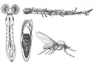 Kvægmyg, larve, puppe og voksen