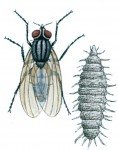 Lille stueflue og larve