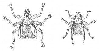 Mursejlerens lusflue og svalelusflue