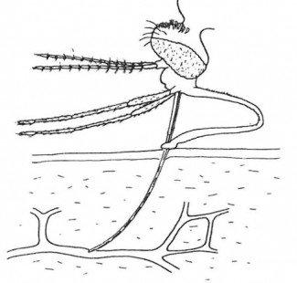 Myggens snabel er tynde rør