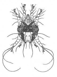 Øremiden, Otodectes cynotis