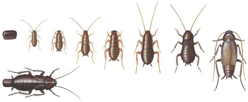 Orientalsk kakerlak
