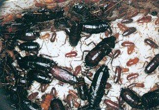 Orientalske kakerlakker, voksne og nymfer