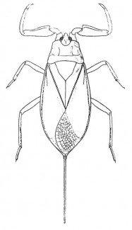 Rygsvømmer, skorpiontæge