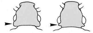 Sammenligning af kornbille og jordnøddebille