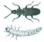 Savtakket kornbille og larve
